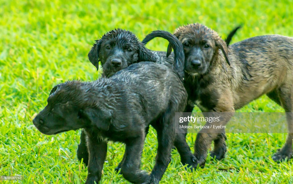 Wet Puppies On Grassy Field Stock Photo Getty Images