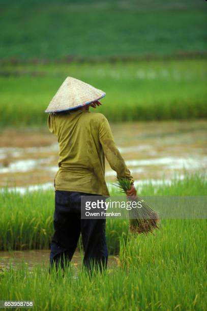 wet rice planting in Laos