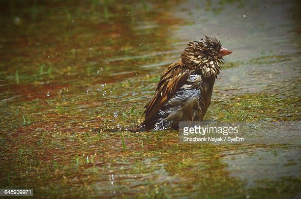Wet Sparrow On Field During Monsoon