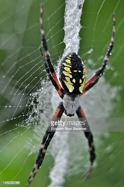 Wet spider