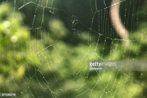 Wet Spider web