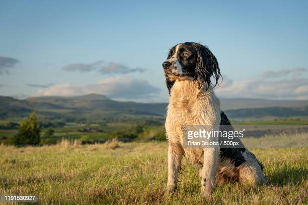 a wet springer spaniel sitting on grass - springer spaniel stock pictures, royalty-free photos & images