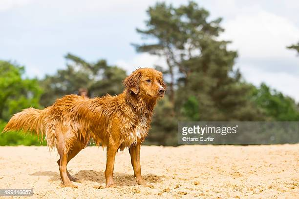 a wet toller on yellow sand! - nova scotia duck tolling retriever stock pictures, royalty-free photos & images