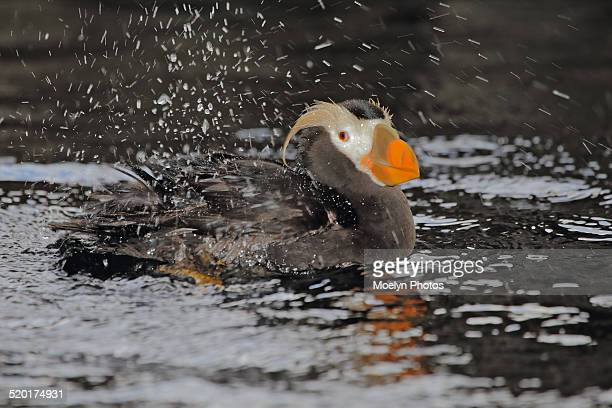 Wet Tufted Puffin