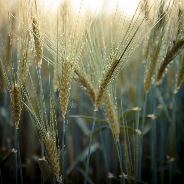 Wet Wheat