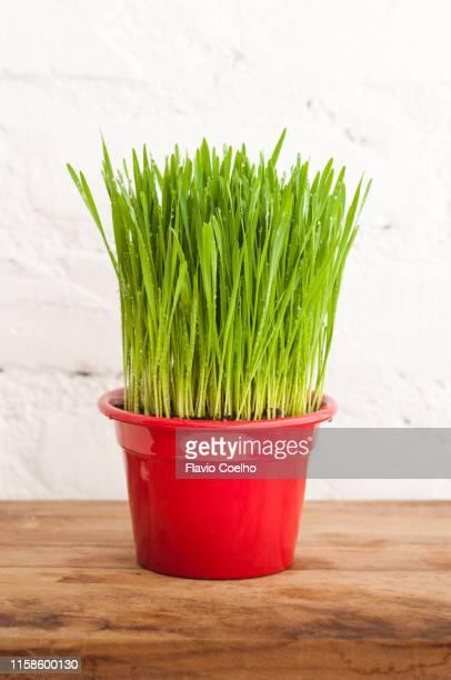 Wet wheatgrass vase