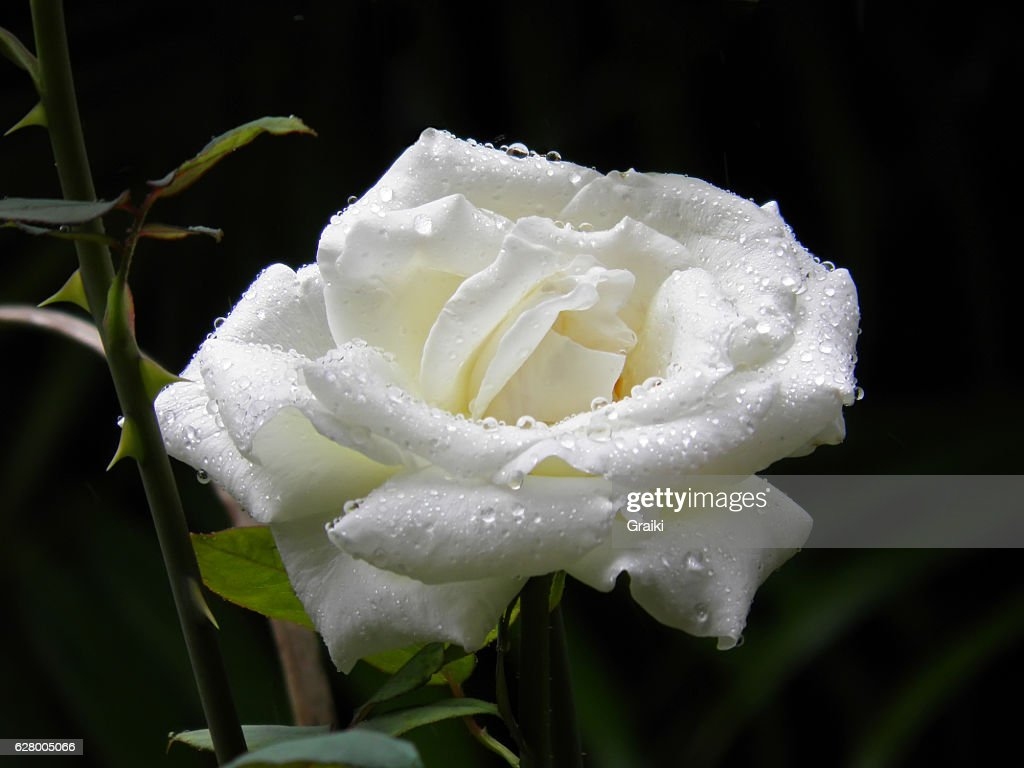 Wet white rose with black background. : Stock Photo