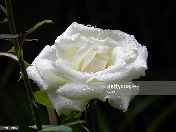 Wet white rose with black background.