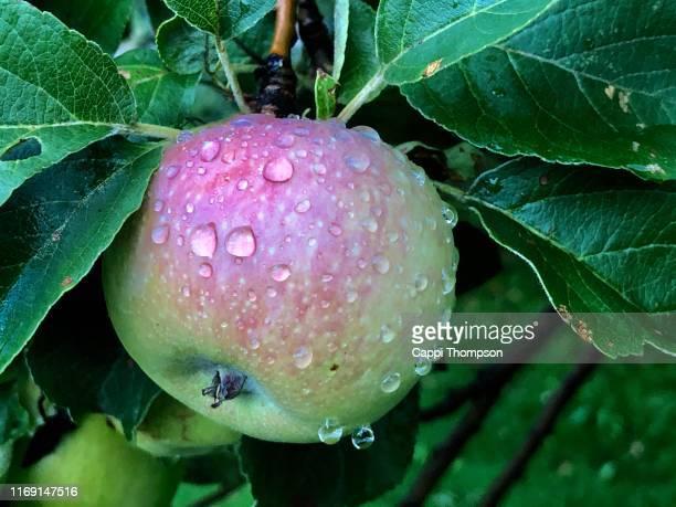 wet wild apple - juteux photos et images de collection
