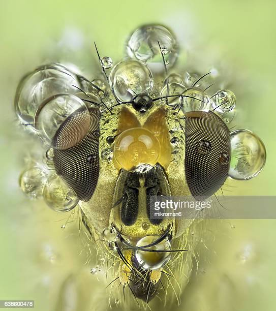 wet yellow dung-fly close up - high scale magnification stock pictures, royalty-free photos & images