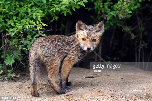 Wet young red fox single kit emerging from thicket in spring