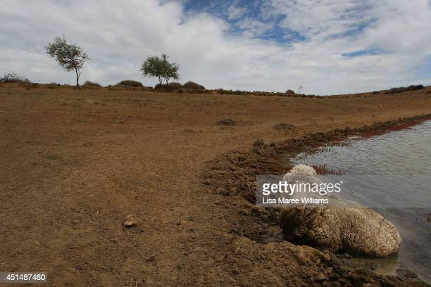 A wether is seen bogged in the black soil edge of a bottoming out dam on 'Rio Station' on March 20 2014 in Longreach Australia Searching for...