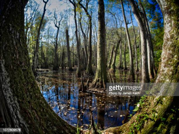 a wetland of water tupelo and bald cypress is framed by a large cypress. - southeast stock pictures, royalty-free photos & images
