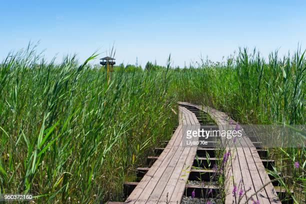 wetland - liyao xie bildbanksfoton och bilder