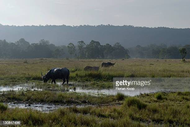 Wetlands with cow in morning light, Koh Kong Province, Cambodia