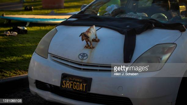 February 05: A wetsuit dries next to a goat hood ornament and on the hood of The Goatfather Dana McGregors car, who is the owner of The Surfing Goats...