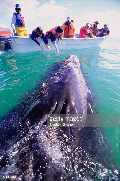 Whale alongside whale watching boat