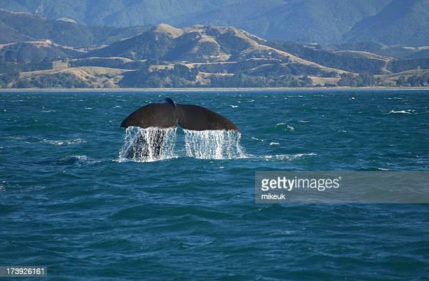 whale at sea kaikoura New Zealand