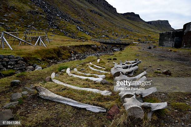 whale bones at djúpavík in westfjords of iceland - fish skeleton stock photos and pictures