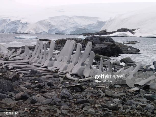 whale bones - antarctic peninsula stock pictures, royalty-free photos & images