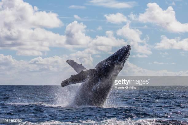 whale breach - クジラ ストックフォトと画像