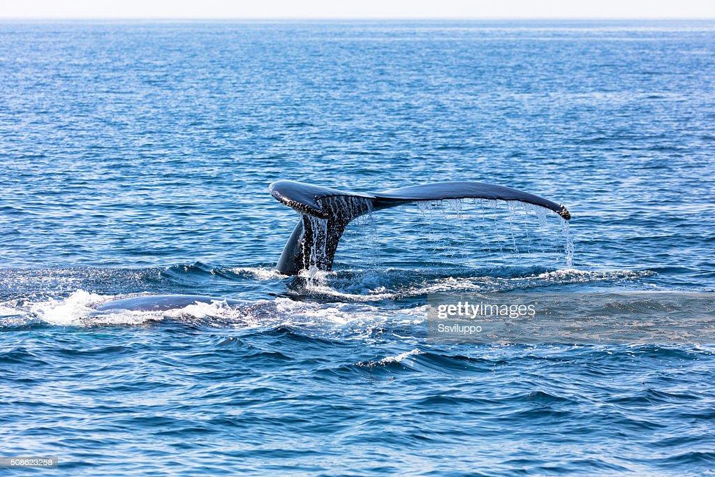 Whale, cape cod : Stock Photo