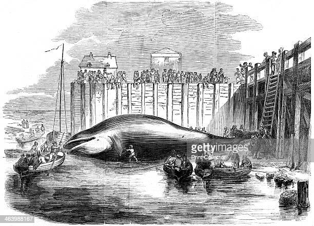 Whale captured in the Thames Grays Essex 19th century