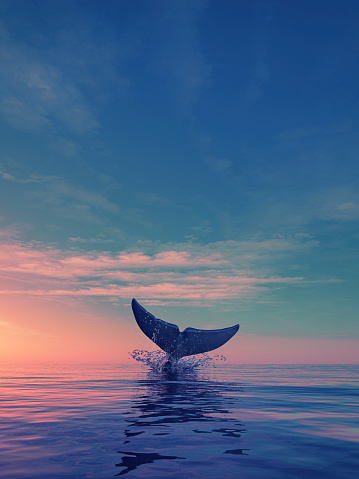 A whale dives at sunset 817588706