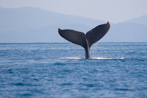 Whale fin (humpback whale) wildlife in costa rica 934836648