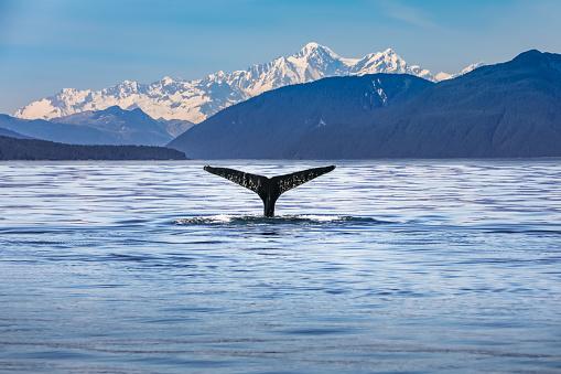 Whale in the ocean with scenic alaskan landscape and mountains 1149116042