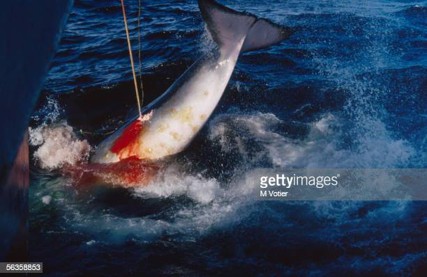 A whale is harpooned by a Japanese whaling vessel carrying out scientific research in the Antarctic 1993