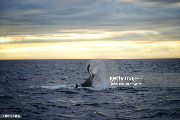 whale jumping in sea against cloudy sky during sunset - 大西洋 ストックフォトと画像