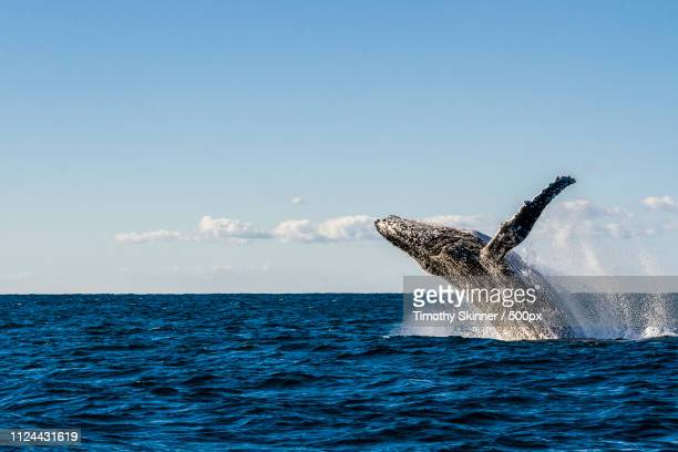 whale of a backflip - new south wales stock pictures, royalty-free photos & images