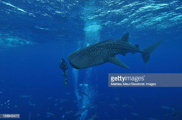 whale shark and diver, maldives. - whale shark stock pictures, royalty-free photos & images