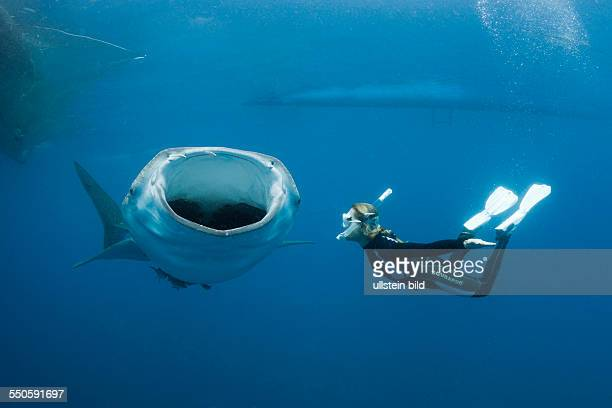 Whale Shark and Freediver Rhincodon typus Cenderawasih Bay West Papua Indonesia