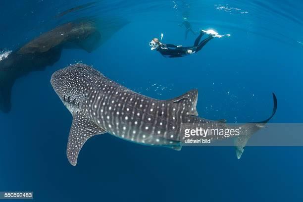 Whale Shark and Freediver Rhincodon typus Cenderawasih Bay West Papua Indonesia