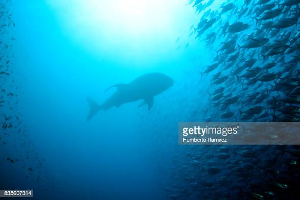 whale shark and yellowfin tuna school. - yellowfin tuna stock photos and pictures
