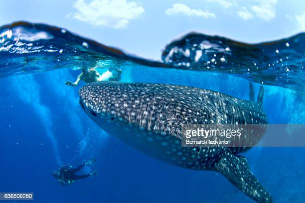 Whale shark at the surface