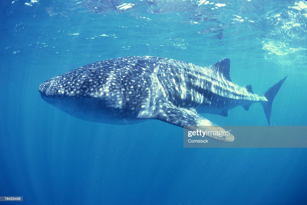 Whale shark , Australia : Stockfoto