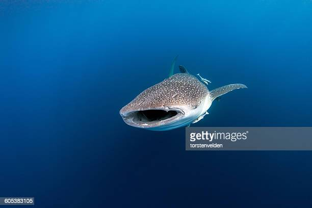 whale shark, cenderawasih bay, papua, indonesia - whale shark stock pictures, royalty-free photos & images