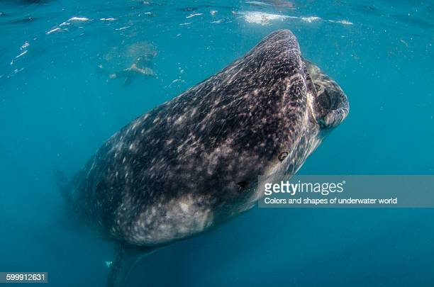 whale shark coming to the surface - atlantic islands stock pictures, royalty-free photos & images