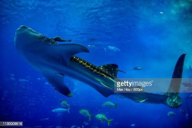 Whale Shark Dances