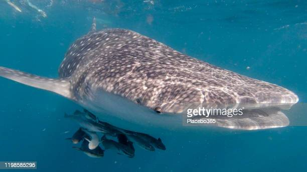 whale shark (rhincodon typus) endangered species swimming in the sea approaching photographer - threatened species stock pictures, royalty-free photos & images