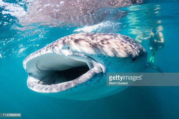 whale shark feeding in la paz - メキシコ北部 ストックフォトと画像