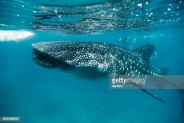 whale shark feeding in oslob - philippines - big fish stock pictures, royalty-free photos & images