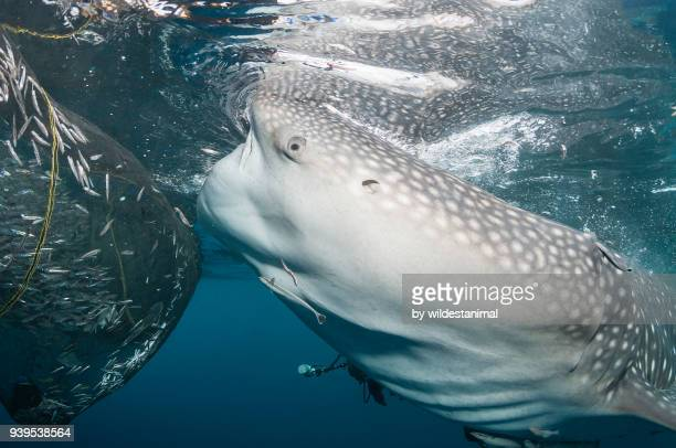 Whale shark feeding near a fishing net hanging from a floating fishing platform, Cenderawasih Bay, West Papua, Indonesia.