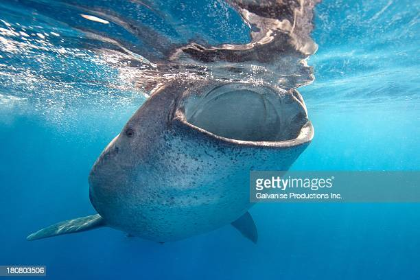 CONTENT] A whale shark feeding on bonito eggs off the island of Isla Mujeres in Mexico The seasonal spawn of these eggs can attract hundreds of whale...