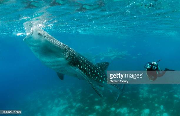 a whale shark feeding on shrimps at the surface, watched by a scuba diver - cebu stock-fotos und bilder