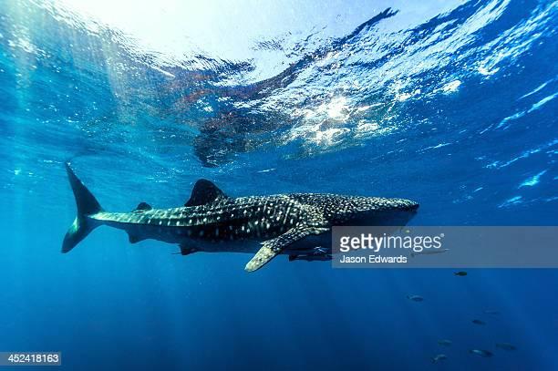 A Whale Shark filter feeding in crystal clear tropical seas.