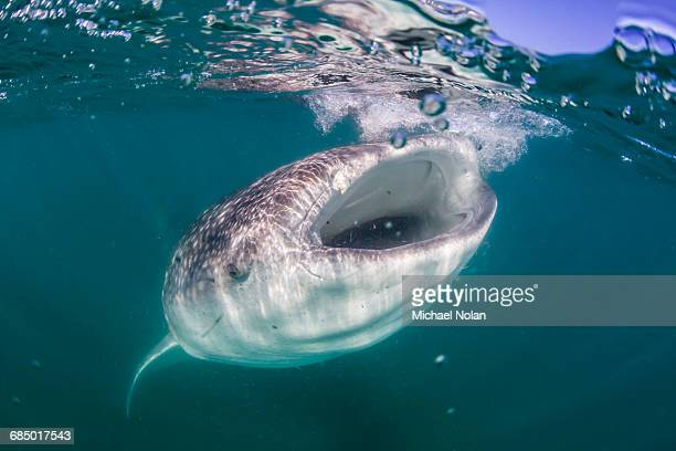 Whale shark (Rhincodon typus), filter feeding underwater off El Mogote, near La Paz, Baja California Sur, Mexico, North America